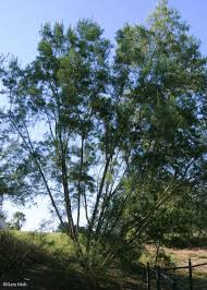 irish native plants mary irish tree perennial and book list 2015 central texas gardener