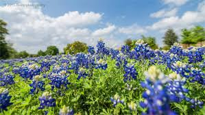 Bluebonnet Flowers - everything you need to know about texas bluebonnets
