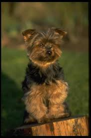 affenpinscher in texas affenpinscher puppies and dogs for sale in usa