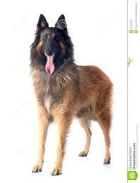 belgian sheepdog black belgian shepherd tervueren stock photo image 46143392