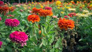 zinnias flowers how to grow bright beautiful zinnias rodale s organic