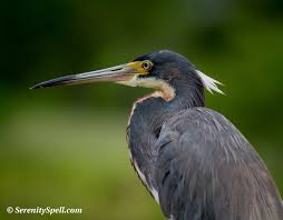 Heron Meaning by 2012 June Serenity Spell