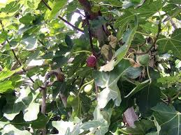fig trees for sale what type of fig tree should you get hubpages