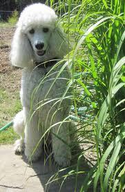 banana joe affenpinscher pedigree 157 best puppy images on pinterest animals standard poodles