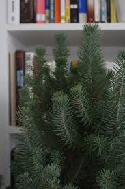 how to pick your perfect christmas tree gardenista