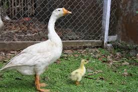 merak albino jual ayam hias hp 08564 77 23 888 berkualitas dan terpercaya