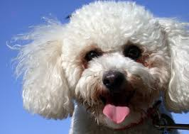 bichon frise names male bichon frise dog breed petvillage org