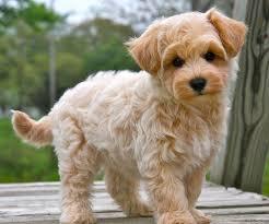 haircutsfordogs poodlemix best 25 maltipoo haircuts ideas on pinterest maltese poodle
