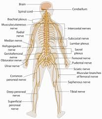 anatomy of the nerve gallery learn human anatomy image