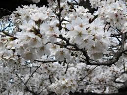 white cherry blossom japanese cherry blossoms sneha speaks