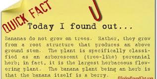 banana not tree 558x280 jpg