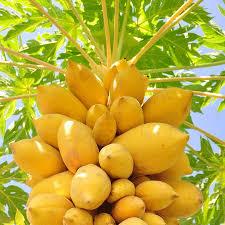 fruit fresh 52 best papaya images on tropical fruits fruit trees