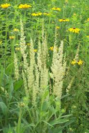 maine native plants 25 best attractive grasses u0026 sedges native to north america images