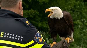 watch out drones this bald eagle can take you down cbs news