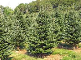 a christmas tree farm in the summertime stock photo picture and