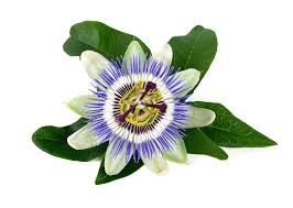 Rainforest Passion Flower - passionflower u2014 the sunlight experiment