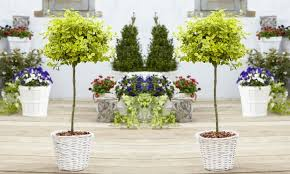 Trees With White Flowers Of Euonymus Emerald U0026 Gold Golden Evergreen Standard Topiary