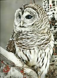 326 best owls images on nature owl and owl