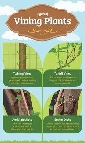 growing vines in your garden fix com