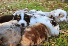 rocking m australian shepherds bluemountainmerles