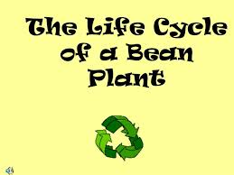 ppt the life cycle of a bean plant powerpoint presentation id