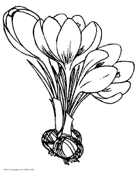 crocus bulbs and flowers coloring pages