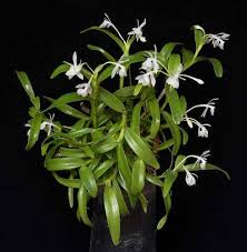 White Orchid Flower A Dwarf White Orchid Flower From Central America Epidendrum Trialatum