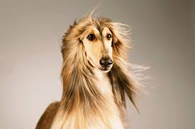 afghan hound look alike breeds dog names by breed dogtime