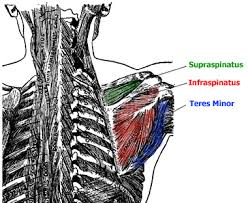 Anatomy Of Rotator Cuff Anatomy Of The Rotator Cuff Muscles Teres Minor Infraspinatus