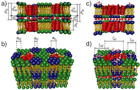 the molecular structure of human red blood cell membranes from