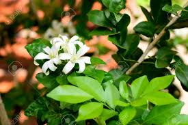 the ornamental trees with small white scented flowers petals