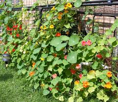 Decorate A Chain Link Fence Vegetable Gardens Near Me Home Outdoor Decoration