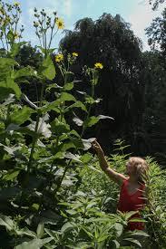 native plants for rain gardens mt cuba center lawn begone mt cuba center