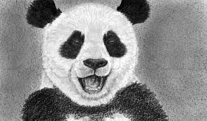 drawn panda pencil drawing pencil and in color drawn panda