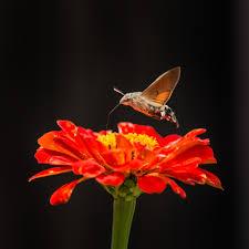 hummingbird hawk moth free stock photo public domain pictures