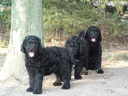 Multi Generation Homes Multi Generational Labradoodle Puppies Accepting Deposits Ready