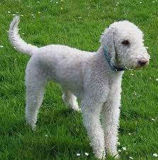 bedlington terrier guard dog 10 goofiest dog breeds simply for dogs