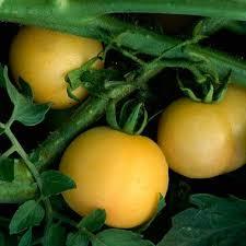 Gardening Tips For Summer - 101 best hortalizas de fruto images on pinterest garden tomatoes