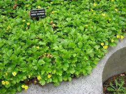native pennsylvania plants waldsteinia fragarioides barren strawberry native groundcover