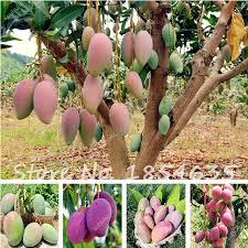 Mango Boom 100 echt true 1 stks zak mango zaden mango boom zaden 100 true