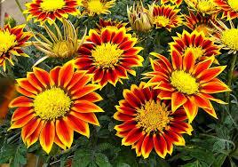 free photo natural floral gazanias garden plant plants max pixel