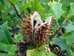 Hawaii Plants Photos Of Common Poisonous Plants Of Hawaii Jimson Weed Datura