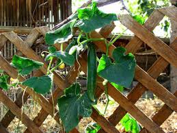 trellis for cucumbers how to grow cucumbers u2013 rambling or on a trellis sustainable