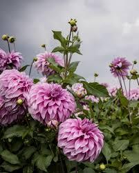 dahlias a family flower farm in holland cloverhome