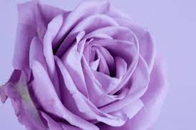 names of lavender roses hunker