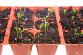 daisy seedlings ready for spring planting isolated white
