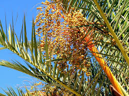 Palm Trees Fruit - date fruit free pictures on pixabay