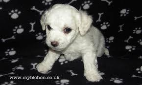 1 week old bichon frise my bichon pictures of a bichon puppy jasper