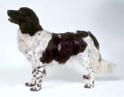 australian shepherd dogtime stabyhoun dog breed information pictures characteristics u0026 facts