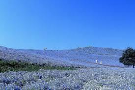 le de bureau bleu 1 jour fleurs visite trip bleu nemophila jardin hitachi